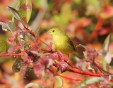 Yellow Warbler, female, Wenatchee DPP_1001518 copy.jpg