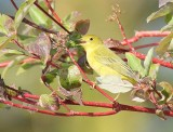 Yellow Warbler, female,  DPP_1001520 copy.jpg