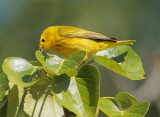 Yellow Warbler, male, Yakima DPP_10029541 copy.jpg