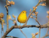 Yellow Warbler, female, Yakima DPP_10030013 copy.jpg