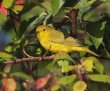 Yellow Warbler, male,  DPP_10040181 copy.jpg