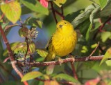 Yellow Warbler, male,  DPP_10040182 copy.jpg