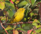 Yellow Warbler, male,  DPP_10040184 copy.jpg