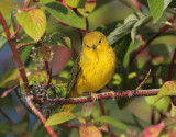 Yellow Warbler, male,  DPP_10040185 copy.jpg