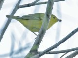 Yellow Warbler, female with house fly, Wenatchee DPP_16027320 copy.jpg