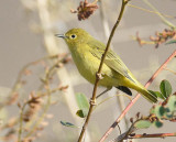Yellow Warbler, rather drab, Washtucna DPP_16028228 copy.jpg