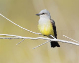 Flycatching Sequence 1/4, moves left-to-right, Western Kingbird DPP_10028183 copy.jpg