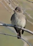 Empidonax Complex, (Gray Flycatcher?), Yakima  DPP_10030727 copy.jpg