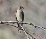 Olive-sided Flycatcher, Yakima DPP_10039801 copy.jpg
