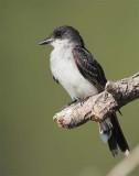 Eastern King Bird,  DPP_1038927 copy.jpg