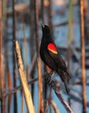Red-wing Blackbird, male DPP_10028511 copy.jpg