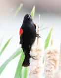 Red-wing Blackbird, male DPP_10030887 copy.jpg
