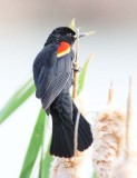 Red-wing Blackbird, male DPP_10030888 copy.jpg
