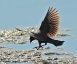 Red-wing or tri-colored blackbird, female DPP_10037424 copy.jpg