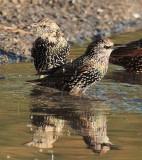European Starlings winter plumage  DPP_10040225 copy.jpg
