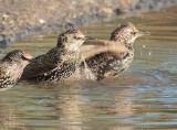 European Starlings DPP_10040226 copy.jpg