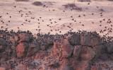 European Starlings, (with a few Red-wing Blackbirds)  night roost  DPP_10041867 copy.jpg