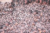 European Starlings, (with a few Red-wing Blackbirds)  night roost   DPP_10041872 copy.jpg