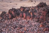 European Starlings, (with a few Red-wing Blackbirds)  night roost   DPP_10041873 copy.jpg