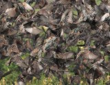 European Starlings, closer view DPP_10041986 3 copy.jpg