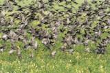 European Starlings DPP_10041988 copy.jpg