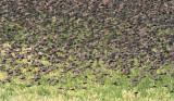 European Starlings DPP_10042156 copy.jpg