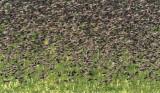 European Starlings DPP_10042157 copy.jpg