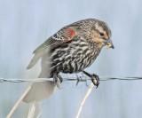 Red-wing Blackbird, female ,   DPP_16014964 copy.jpg