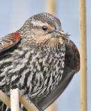 Red-wing Blackbird, female ,   DPP_16014965 2 copy.jpg