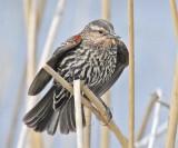 Red-wing Blackbird, female ,   DPP_16014965 copy.jpg
