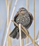 Red-wing Blackbird, female mouth full of bugs  DPP_16014966 copy.jpg