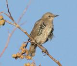 Young European Starling, molting DPP_16027355 copy.jpg