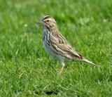 Savanna Sparrow, Seattle   DPP_16015343 copy.jpg