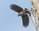Lewis's Woodpecker, DPP_16016663 copy.jpg