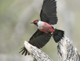 Lewis's Woodpecker, DPP_16017677 copy.jpg