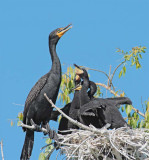 Double Crested Cormorants, Parent with chicks in nest DPP_1034135 copy.jpg