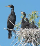 Double Crested Cormorants, Parent with chicks in nest DPP_1034136 copy.jpg