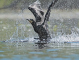 Double Crested Cormorant, Working to get airborne  DPP_1034140 copy.jpg