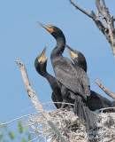 Double Crested Cormorants, Chicks begging parent at center DPP_1034142 copy.jpg