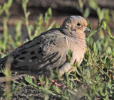 Mourning Dove DPP_1033277 copy.jpg