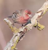 House Finch, male DPP_10043097 copy.jpg