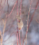 House Finch, male, dropping from rose  DPP_10043250 2 copy.jpg