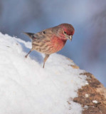 House Finch, male, starting to jump DPP_10043253 copy.jpg