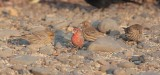 House Finch, males, females, Yakima arboretum audubon sparrow patch DPP_1042537 copy.jpg