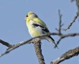 Goldfinch, male, breeding plumage DPP_16017708 copy.jpg