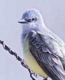 Western Kinbird, Toppenish DPP_16016879 2 net.jpg
