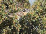 Black-headed Grosbeak, female eating brush flowers DPP_10034648 copy.jpg