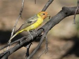 Western Tanager, with ant,  Little Naches  DPP_16017993 copy.jpg