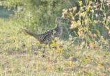 Ring-necked Pheasant, female DPP_1624610 copy.jpg
