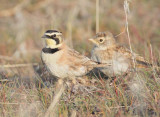 Horned Lark parent with youngster (right) DPP_10026455 copy.jpg